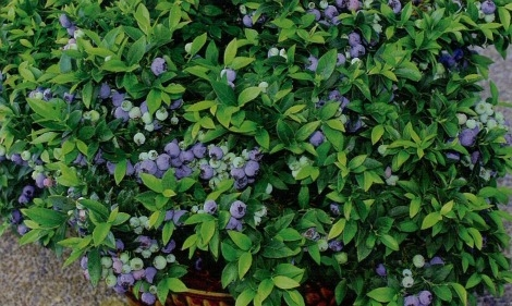 blueberrybushwide