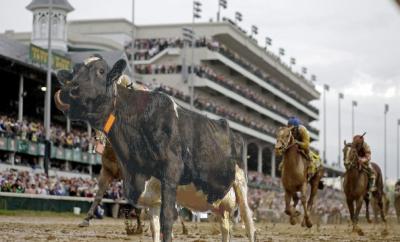 cowhorserace2